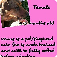 Adopt A Pet :: Venus - Stephenville, TX