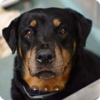 Rottweiler Dog for adoption in Hillsboro, New Hampshire - Maxi