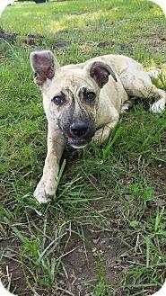 Pit Bull Terrier/Shepherd (Unknown Type) Mix Puppy for adoption in Staunton, Virginia - Mocha
