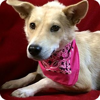 Border Collie Mix Dog for adoption in Thomspn, Connecticut - Sophie