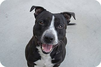American Pit Bull Terrier/American Staffordshire Terrier Mix Dog for adoption in Prince George, Virginia - Clement