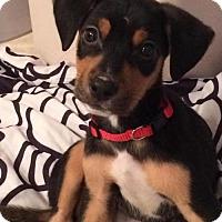 Adopt A Pet :: Roman - San Diego, CA