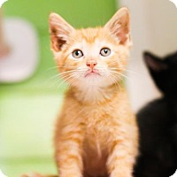 Adopt A Pet :: Cashew - Austin, TX
