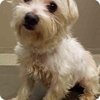 Maltese Mix Dog for adoption in Shorewood, Illinois - Pierre