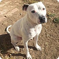 Adopt A Pet :: Butch (DENVER) - Fort Collins, CO
