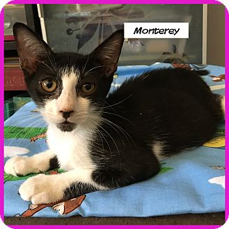 Domestic Shorthair Cat for adoption in Miami, Florida - Monterey