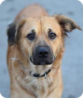 Collie/Golden Retriever Mix Dog for adoption in Woodland Park, New Jersey - Nina Sheplie