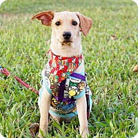 Labrador Retriever Mix Puppy for adoption in San Mateo, California - Darcy