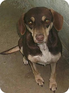 Beagle Mix Dog for adoption in Orangeburg, South Carolina - Hershey
