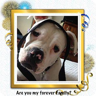 American Bulldog Puppy for adoption in Tampa, Florida - Gump