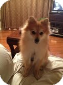 Pomeranian Mix Dog for adoption in Sherman, Connecticut - Rudy