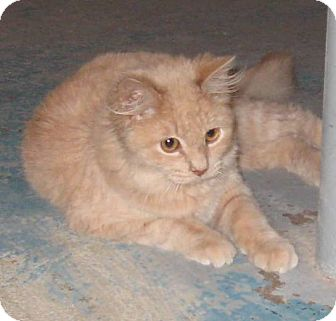 Domestic Longhair Cat for adoption in Geneseo, Illinois - Bogie