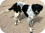 Border Collie/Pointer Mix Dog for adoption in Simi Valley, California - 'river