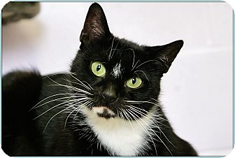 Domestic Shorthair Cat for adoption in Elmwood Park, New Jersey - Millie