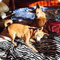 Adopt A Pet :: Little Jumbo and sister Kiki - Corona, CA