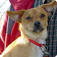 Adopt A Pet :: Chewie fluffy sweet pup - Sacramento, CA