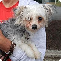 Adopt A Pet :: Daisy the Morkie - Fairfax, VA