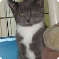 Adopt A Pet :: Smudge - Middletown, CT