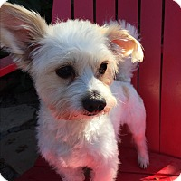 Adopt A Pet :: Joey - El Segundo, CA