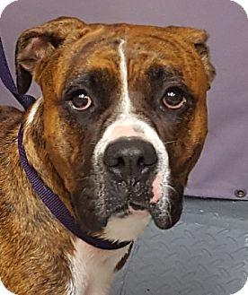 Boxer Mix Dog for adoption in Tucson, Arizona - CODY
