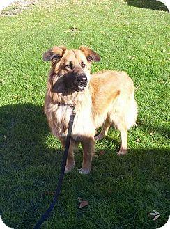 German Shepherd Dog Mix Dog for adoption in Winnipeg, Manitoba - GUNNER