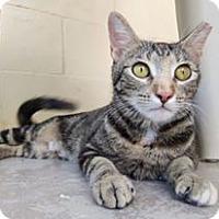 Domestic Shorthair Cat for adoption in Umatilla, Florida - Ella