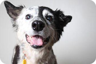 Australian Shepherd Dog for adoption in Edina, Minnesota - Spice D161414: PENDING ADOPTION