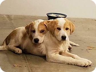 Great Pyrenees/Australian Shepherd Mix Puppy for adoption in Oswego, Illinois - Holli