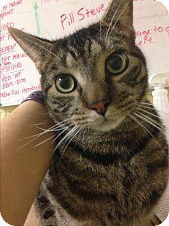 Domestic Shorthair Cat for adoption in Rockaway, New Jersey - Bob
