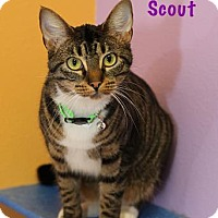 Adopt A Pet :: Scout (brown/white tabby) - Baton Rouge, LA