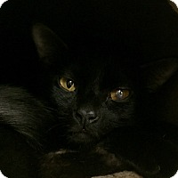 Domestic Shorthair Cat for adoption in Manchester, New Hampshire - Spidey; I'm shy but so sweet!
