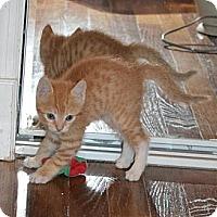 Adopt A Pet :: Prince - Island Park, NY
