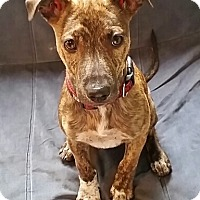 Adopt A Pet :: Pee Wee - Brooklyn, NY