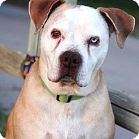 American Pit Bull Terrier Mix Dog for adoption in Gilbert, Arizona - Stranger