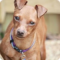 Adopt A Pet :: Lil' Cinnamon Spice - Nashville, TN