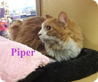Domestic Longhair Cat for adoption in Los Angeles, California - Piper