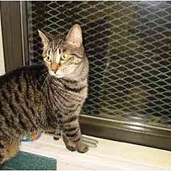 Photo 1 - Domestic Shorthair Cat for adoption in New York, New York - Suggy