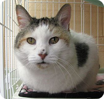 American Shorthair Cat for adoption in Albuquerque, New Mexico - Dutchess