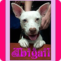 Adopt A Pet :: Abigail - Tracy, CA