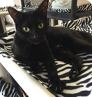 Domestic Shorthair Cat for adoption in Boca Raton, Florida - Grace