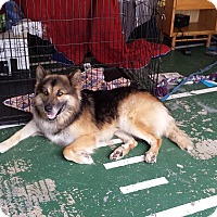 German Shepherd Dog Mix Dog for adoption in Missouri, Texas - Duke
