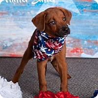 Adopt A Pet :: Nutter Butter - Scottsdale, AZ
