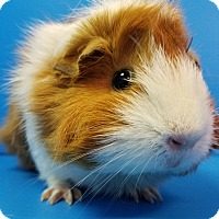 Adopt A Pet :: Fleur - Lewisville, TX