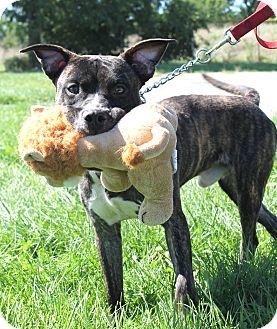 Terrier (Unknown Type, Medium) Mix Dog for adoption in Wyandotte, Michigan - Alfie @DCAC