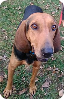 Hound (Unknown Type)/Black and Tan Coonhound Mix Dog for adoption in Lima, Pennsylvania - Jenny