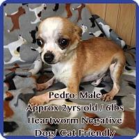 Adopt A Pet :: Pedro - greenville, SC