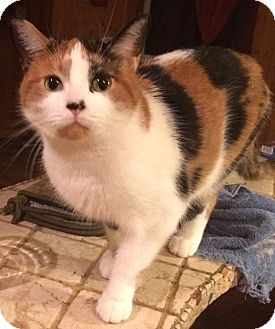 Domestic Shorthair Cat for adoption in Montreal, Quebec - Lili
