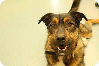 Bernese Mountain Dog/Airedale Terrier Mix Dog for adoption in Newton, Kansas - Gunner