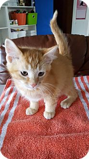 Domestic Shorthair Kitten for adoption in Danville, Indiana - Nutmeg
