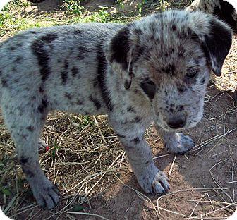 Australian Shepherd/Labrador Retriever Mix Puppy for adoption in Waller, Texas - Boomer